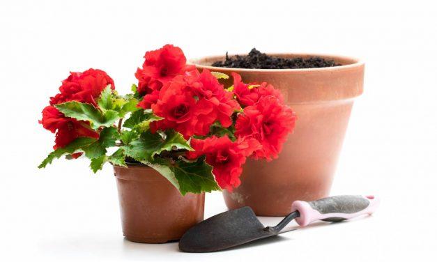 Comment planter des bégonias ?
