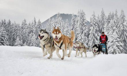 La relation unique du musher et de ses chiens