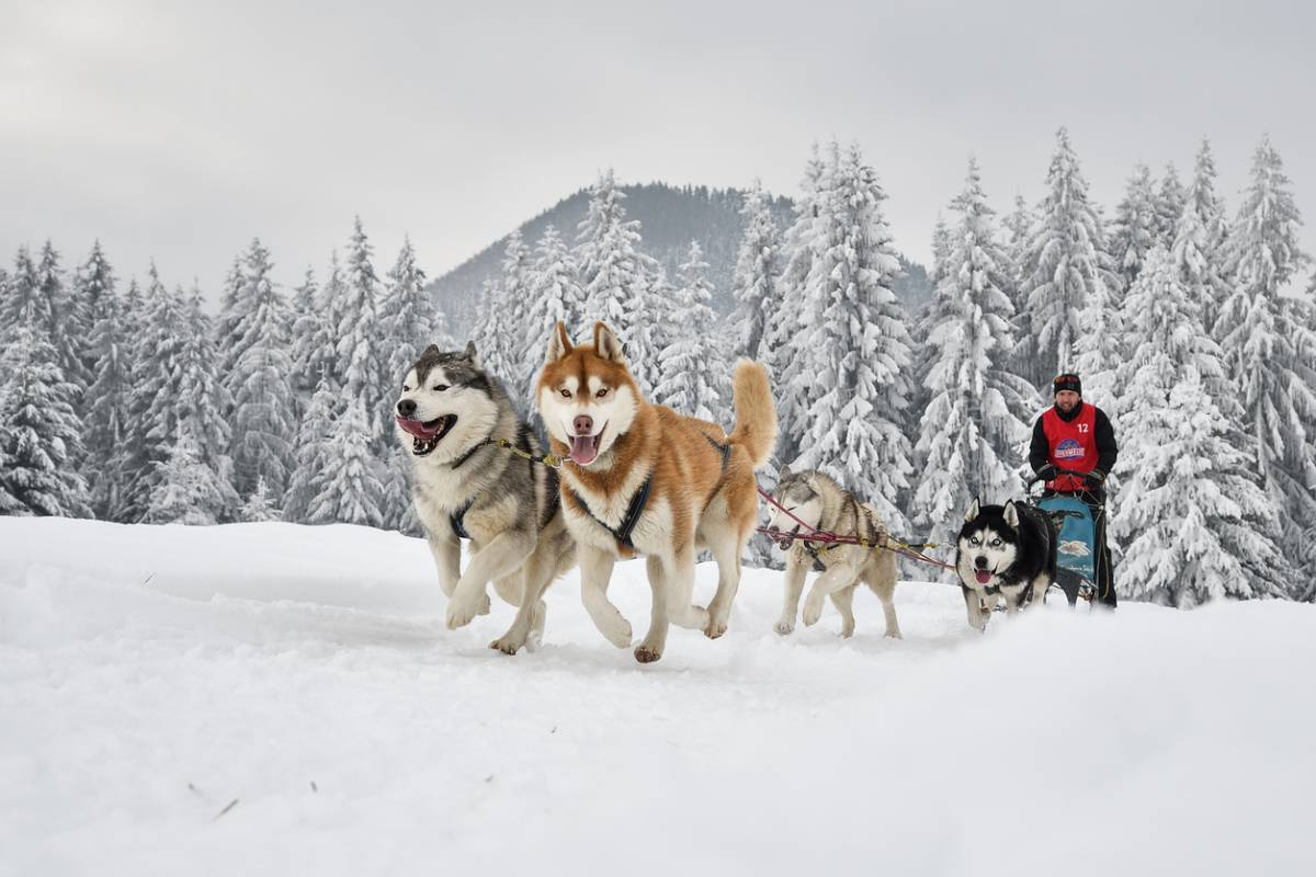 relation chien musher