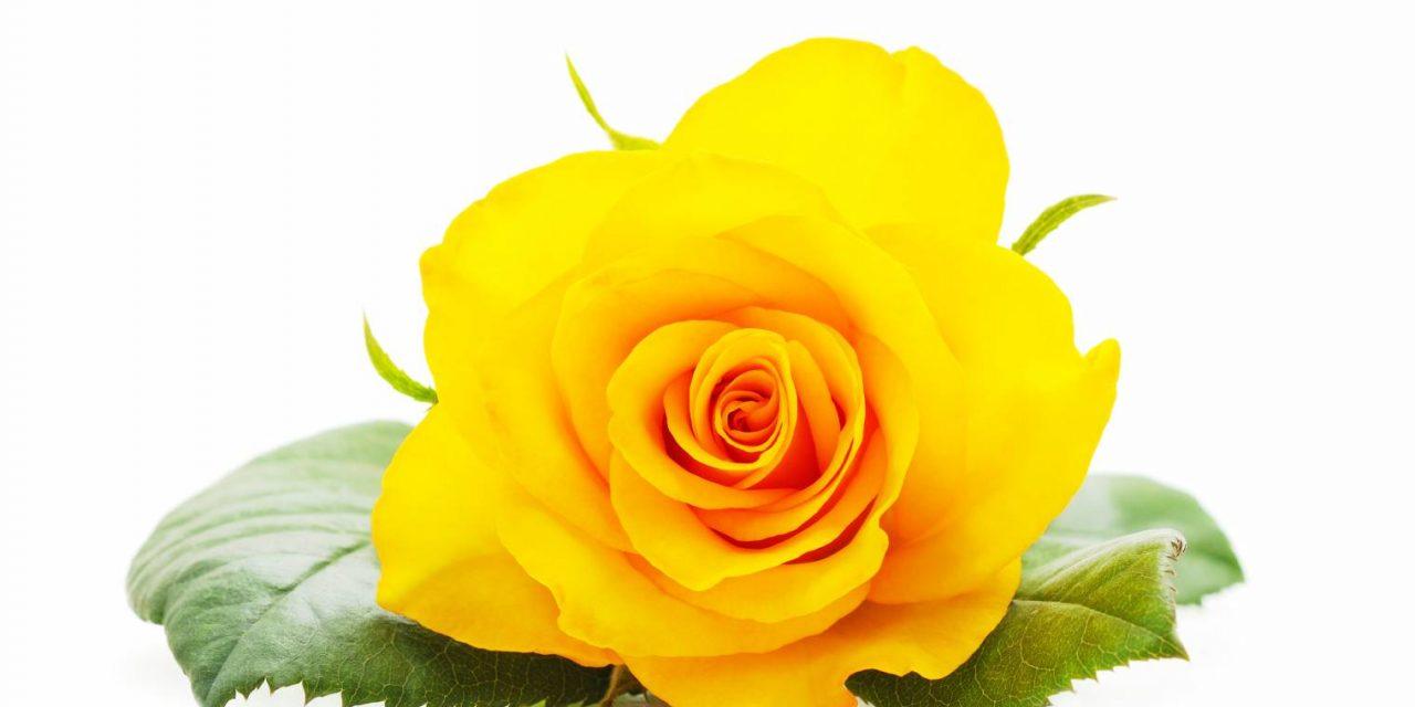 Quelle est la signification de la rose jaune ?