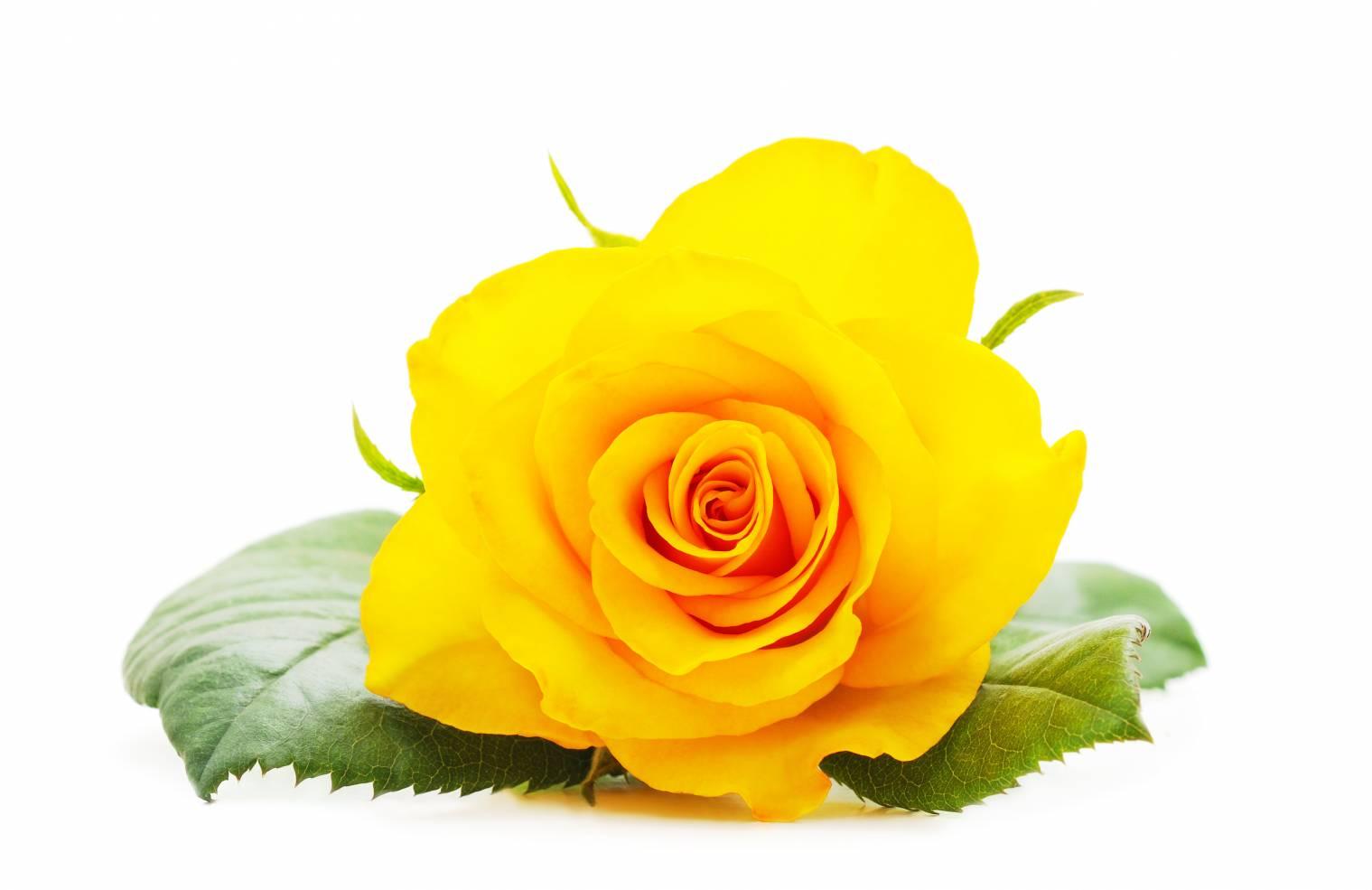 Rose jaune : Signification et symbole | Tout savoir sur les roses jaunes