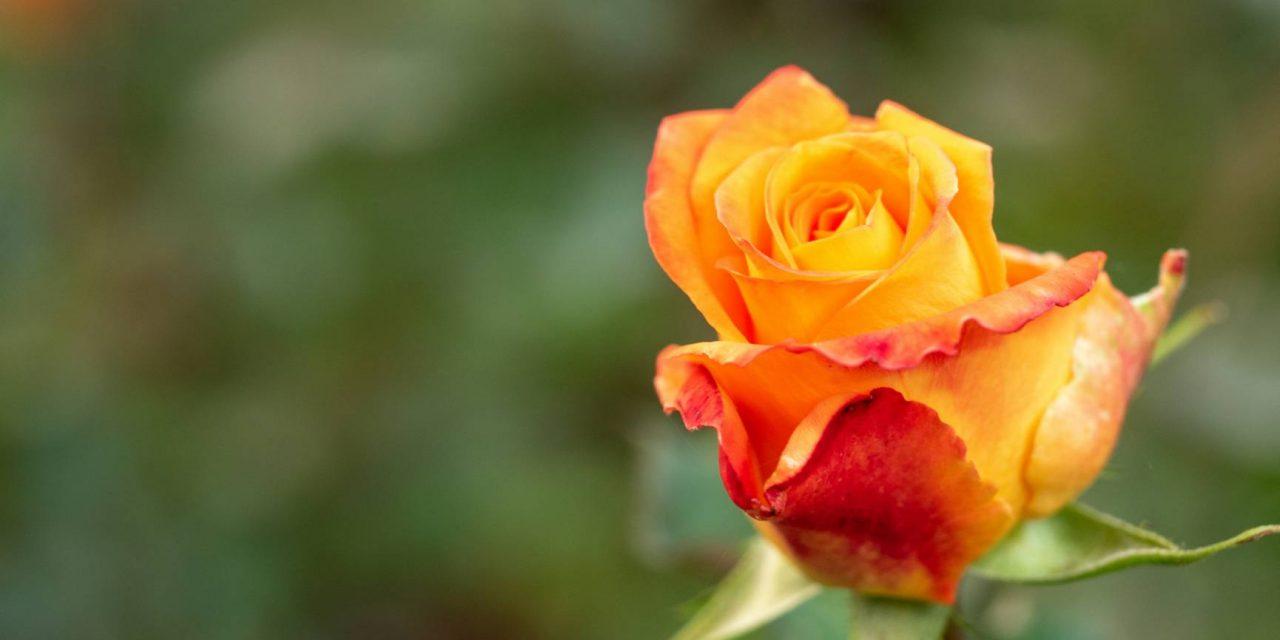 Que symbolise la rose orange ?