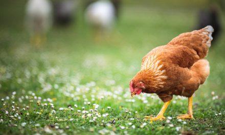 La poule : tout ce que vous devez savoir