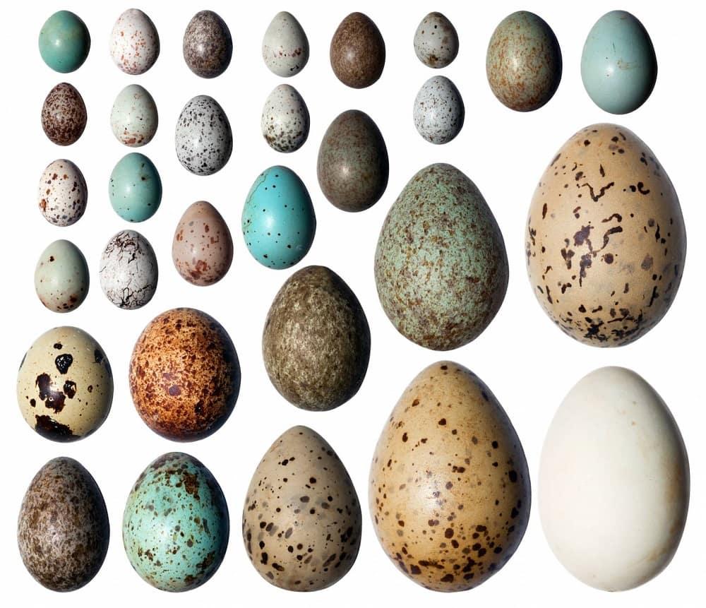 Comment reconnaître l'espèce d'un oiseau grâce à ses œufs ?